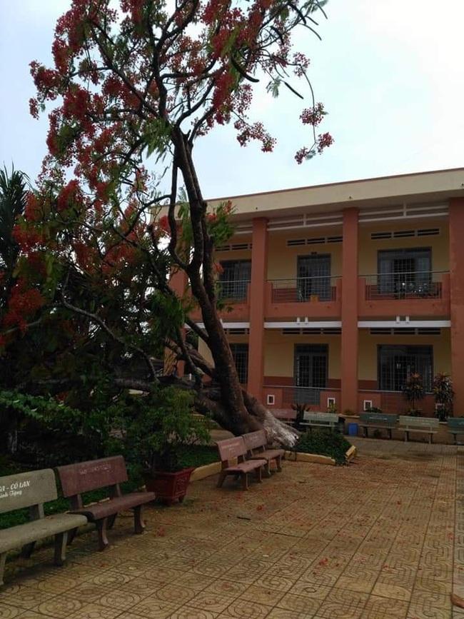 Thêm cây phượng bật gốc ở sân trường tiểu học ở tỉnh Đồng Nai - Ảnh 1.