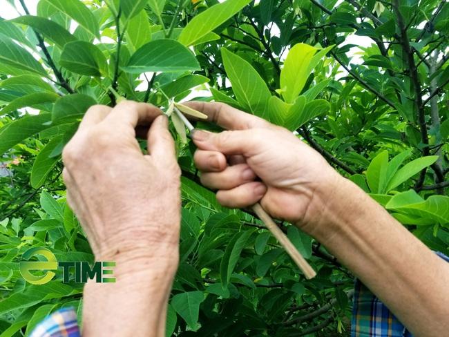 Nhờ cách làm này mà nông dân nơi thủ phủ Na xứ Lạng hái quả mỏi tay - Ảnh 2.