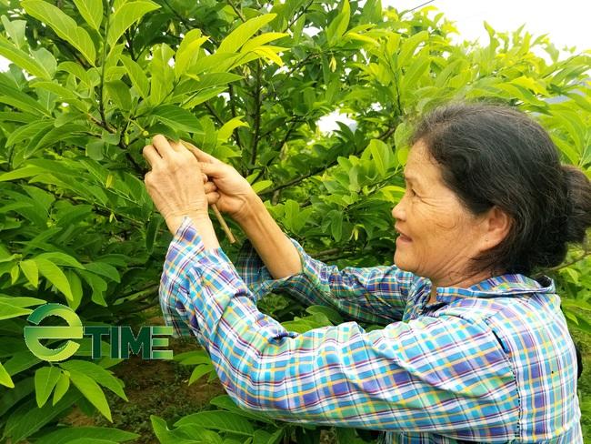 Nhờ cách làm này mà nông dân nơi thủ phủ Na xứ Lạng hái quả mỏi tay - Ảnh 1.
