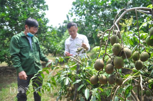Yên Bái: Có nửa ha đất trồng các loại cây cho thu vài trăm triệu mỗi năm - Ảnh 4.