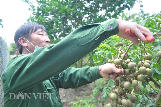 Yên Bái: Có nửa ha đất trồng các loại cây cho thu vài trăm triệu mỗi năm - Ảnh 3.