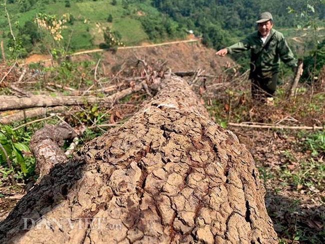 Chặt hạ gỗ tự nhiên trên đất lâm trường ở Bắc Kạn: Cơ quan chức năng nói gì? - Ảnh 1.