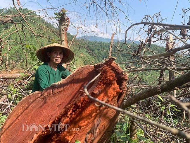 Chặt hạ gỗ tự nhiên trên đất lâm trường ở Bắc Kạn: Cơ quan chức năng nói gì? - Ảnh 2.