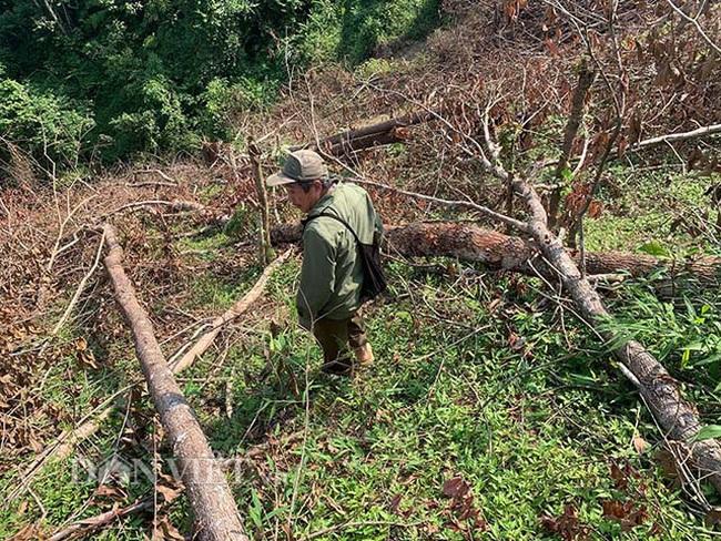 Chặt hạ gỗ tự nhiên trên đất lâm trường ở Bắc Kạn: Cơ quan chức năng nói gì? - Ảnh 3.