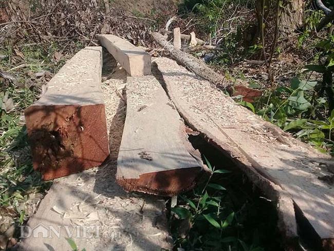 Chặt hạ gỗ tự nhiên trên đất lâm trường ở Bắc Kạn: Cơ quan chức năng nói gì? - Ảnh 5.
