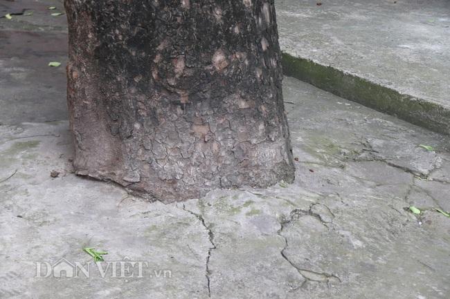 Hà Nội: Cây xanh ven đường đang bị 'bóp cổ' bằng xi măng, bê tông - Ảnh 4.