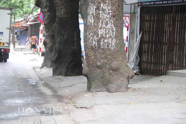 Hà Nội: Cây xanh ven đường đang bị 'bóp cổ' bằng xi măng, bê tông - Ảnh 5.