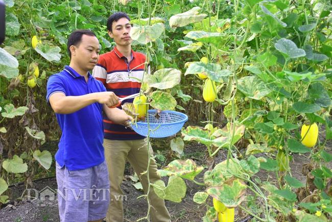 Yên Bái: Thạc sỹ trẻ làm nhà lưới trồng dưa Hàn Quốc đem lại hiệu quả kinh tế cao - Ảnh 3.