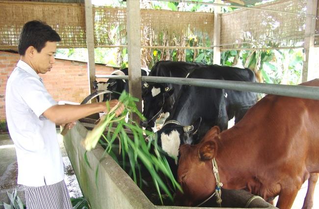 """(Gộp 21/6) Thu tiền tỷ nhờ nuôi bò """"lực sĩ"""" - Ảnh 1."""