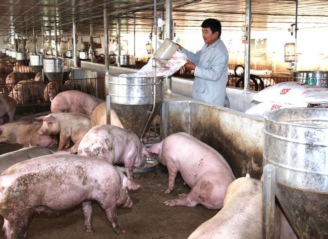 Giá heo hơi hôm nay 15/6: Ồ ạt đăng kí nhập khẩu gần 1 triệu con lợn, giá giảm mạnh - Ảnh 1.