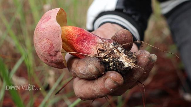 Ảnh - Clip: Săn nấm rừng Đà Lạt, không phải ai cũng biết - Ảnh 5.