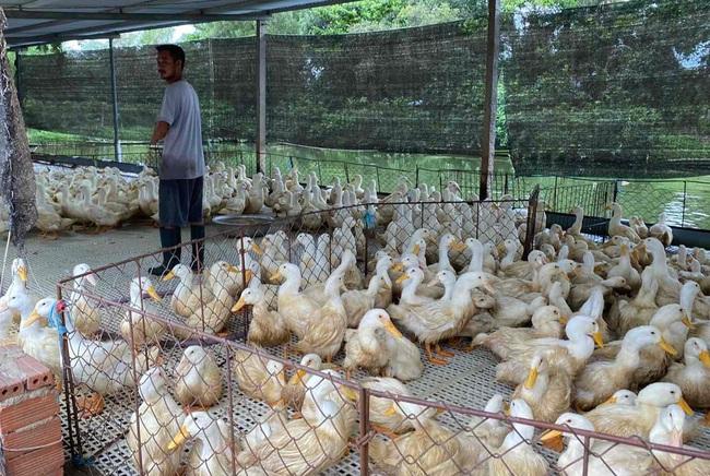 Gà lông trắng tăng gần 10.000 đồng, người chăn nuôi thoát lỗ - Ảnh 1.