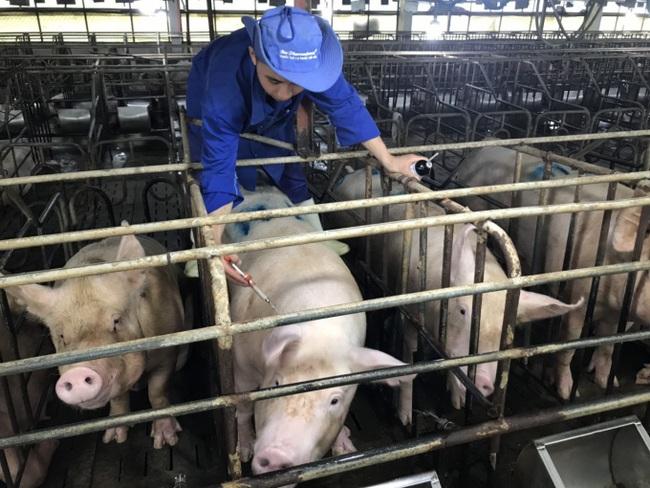 Giá heo hơi hôm nay 2/6: Bán 50 tấn lợn hơi giá 97.000 đồng/kg, chủ trại phố núi bỏ túi 4,8 tỷ - Ảnh 2.