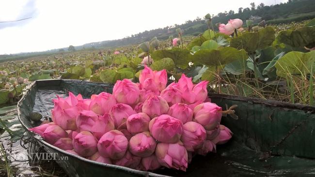 """Trồng bạt ngàn """"quốc hoa"""", không chăm bón, vẫn thu vài chục triệu mỗi mùa - Ảnh 4."""