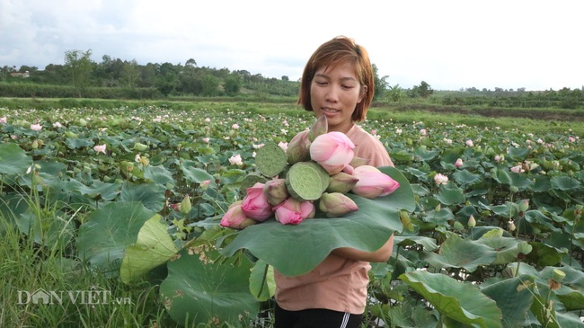 Cánh đồng hoa sen của gia đình chị Hồng được trồng trên phần đất của đập thủy lợi Nông Trường 3. Phần đất này đã được nhà nước đền bù, tuy nhiên, người dân vẫn tận dụng để trồng các loại rau màu, hoa sen...