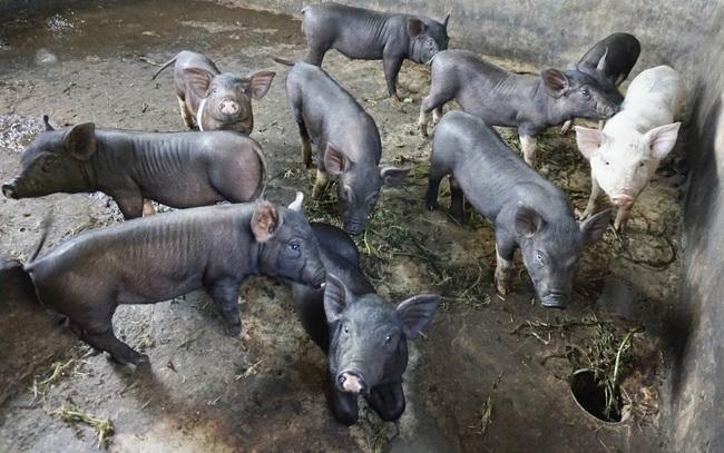 Đà Nẵng: Giá heo hơi giảm nhưng thịt ngoài chợ vẫn cao ngất ngưỡng - Ảnh 4.