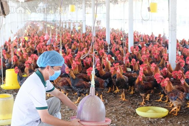 Công nghệ 4.0 giúp gà San Hà sạch cỡ nào? - Ảnh 3.