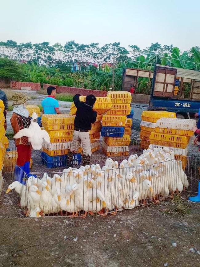 Giá gia cầm hôm nay 28/6: Vịt thịt bán giá cao, gà thả vườn dễ bán - Ảnh 1.
