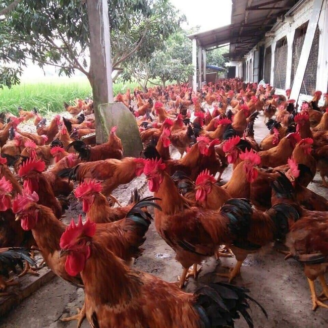 Giá gia cầm hôm nay 29/6: Giá gà thịt công nghiệp giảm, vịt về chợ ít dần - Ảnh 2.