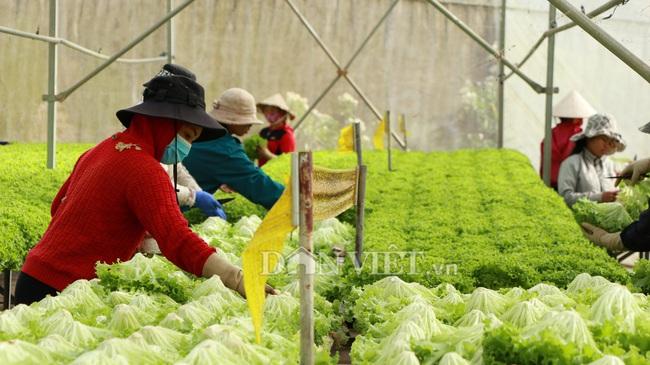 Giá rau Đà Lạt tăng kỉ lục, nhà vườn phấn khởi, không có hàng bán - Ảnh 1.