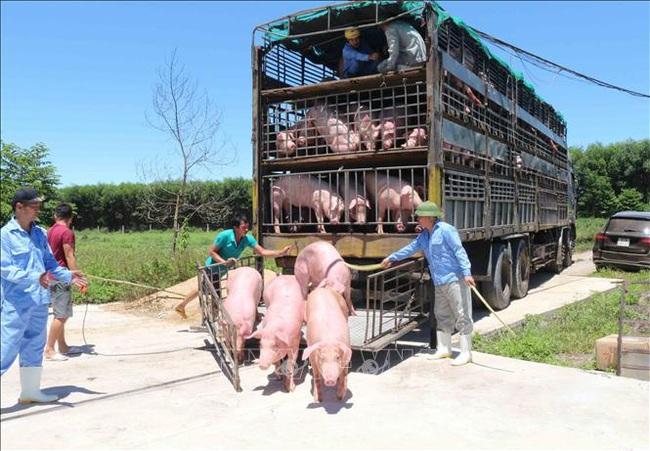 Nhập lợn sống - cơ hội cho lợn nội phát triển - Ảnh 1.