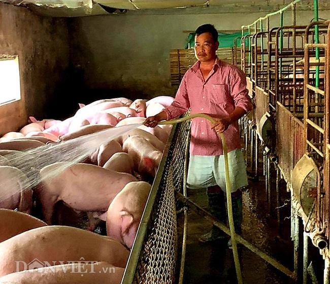 """Bí quyết giúp lão nông tái đàn lợn gần 500 con giữa """"bão"""" dịch tả lợn châu Phi - Ảnh 1."""