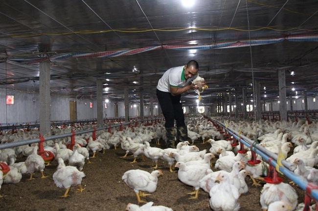 Giá gia cầm hôm nay 30/6: Giá gà thịt công nghiệp có nơi xuống dưới 30.000 đồng/kg - Ảnh 1.