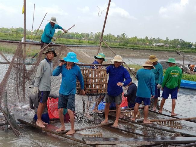 Long An: Sản lượng cá tra nuôi công nghiệp tăng đột biến - Ảnh 2.