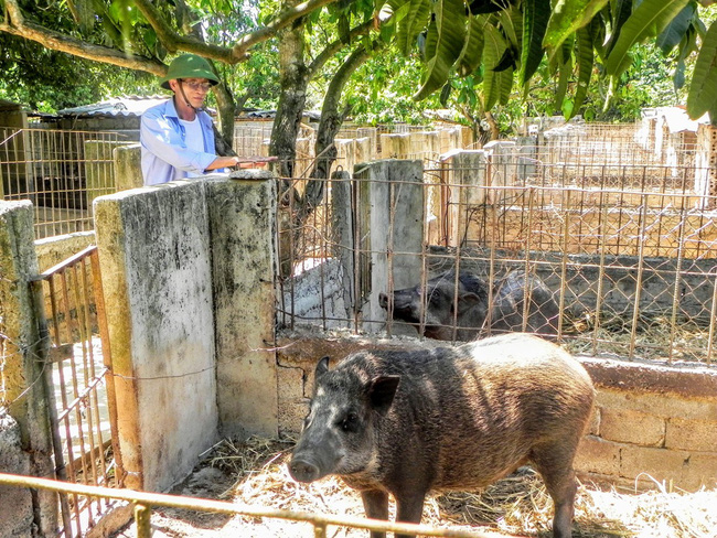 Lão nông trồng rừng kết hợp nuôi bò, lợn... mỗi năm cho thu nhập 1 tỷ đồng   - Ảnh 2.