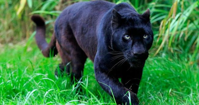 Công an cảnh báo người dân việc nghi có 2 con báo đen xuất hiện ở Đồng Nai - Ảnh 2.