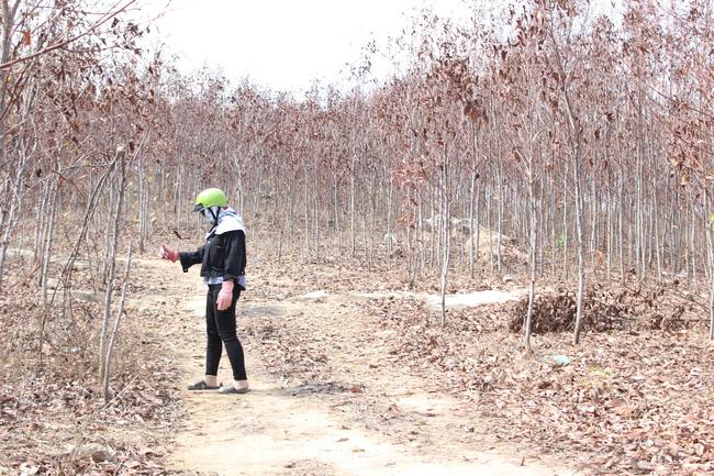 Hàng ngàn cây keo lai chết khô vì nắng hạn, lá rụng tơi tả - Ảnh 3.