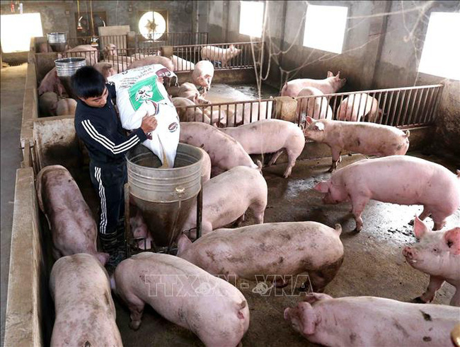 """Giá heo hơi hôm nay 5/6: Doanh nghiệp lớn đầu tư 1,1 triệu con lợn thịt, tăng như """"diều gặp gió"""" - Ảnh 2."""
