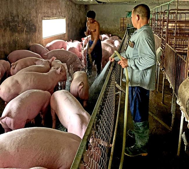 """Giá heo hơi hôm nay 5/6: Doanh nghiệp lớn đầu tư 1,1 triệu lợn thịt, tăng như """"diều gặp gió"""" - Ảnh 1."""