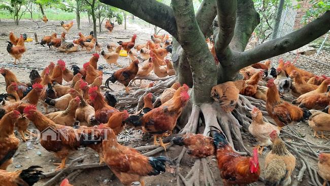 Nuôi giống gà lạ, cho ăn thảo mộc, thu hàng trăm triệu mỗi năm - Ảnh 1.