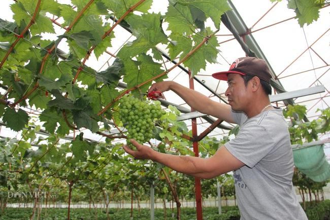 Trong thời gian sắp tới, những cây nho Hàn Quốc sẽ cho thu hoạch rộ.