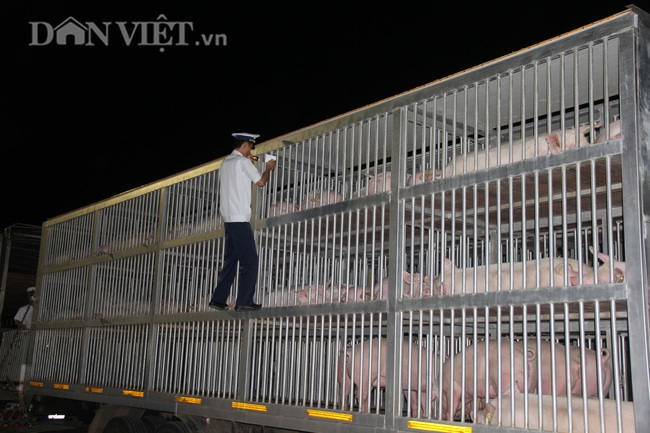 Thức cả đêm thông quan 970 con lợn nhập từ Thái Lan về cửa khẩu Lao Bảo - Ảnh 2.
