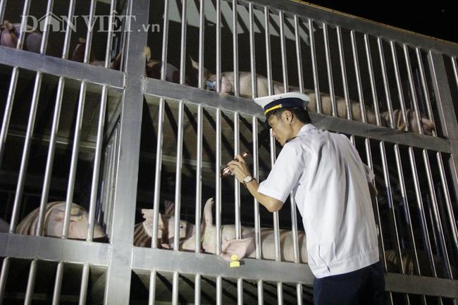 Thức cả đêm thông quan 970 con lợn nhập từ Thái Lan về cửa khẩu Lao Bảo - Ảnh 1.