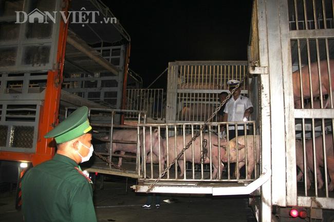Thức cả đêm thông quan 970 con lợn nhập từ Thái Lan về cửa khẩu Lao Bảo - Ảnh 3.