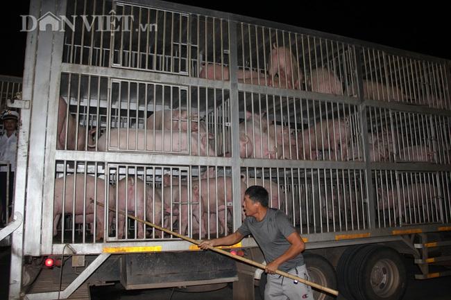 Thức cả đêm thông quan 970 con lợn nhập từ Thái Lan về cửa khẩu Lao Bảo - Ảnh 6.