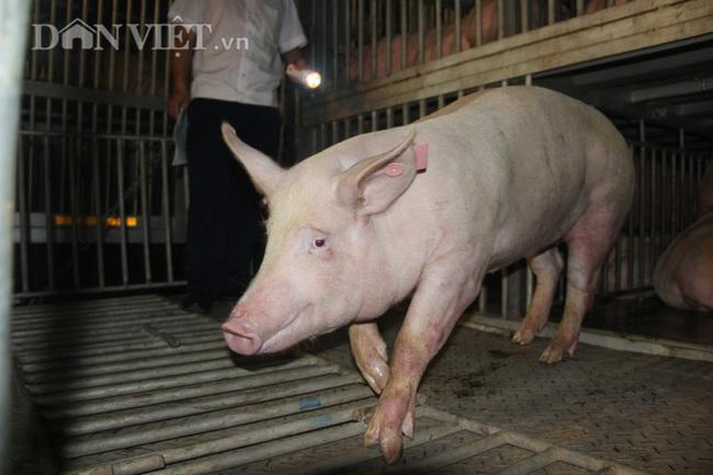 Thức cả đêm thông quan 970 con lợn nhập từ Thái Lan về cửa khẩu Lao Bảo - Ảnh 5.