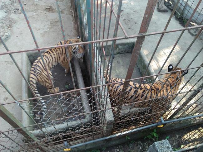 Xâm nhập đường dây buôn bán hổ xuyên quốc gia:  (kỳ cuối): Cần gắn chíp theo dõi hổ nuôi nhốt  - Ảnh 3.