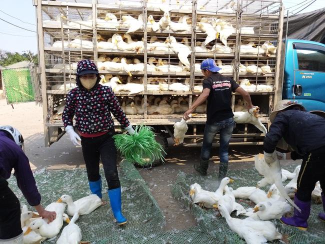 Giá vịt thịt hôm nay tại một số vùng ở các tỉnh phía Nam người nuôi bán được giá 40.000 đồng đến 41.000 đồng/kg.