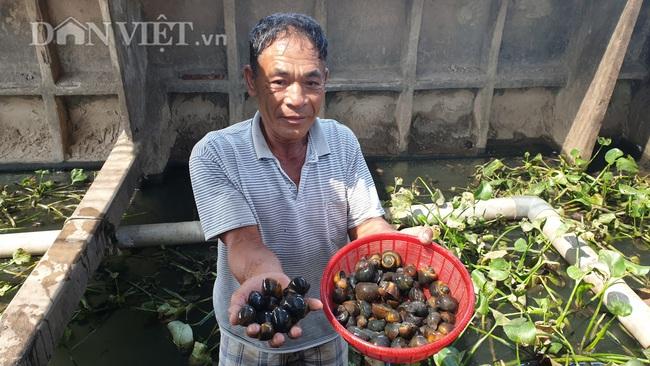 Nuôi ốc nhồi độc nhất Thái Bình, lão nông kiếm hàng chục triệu mỗi tháng  - Ảnh 1.