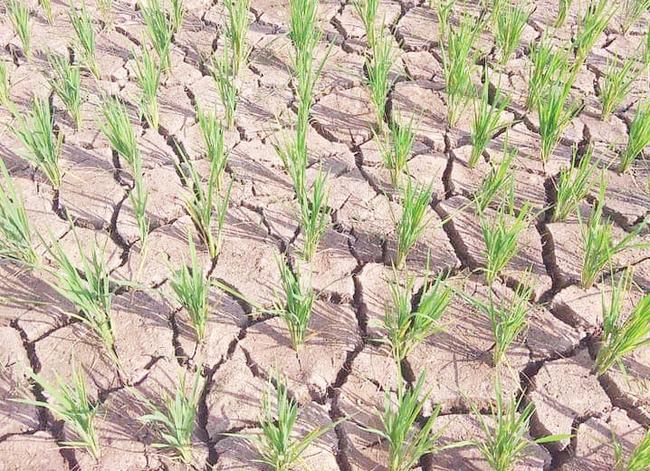 Lạng Sơn: Nắng nóng kéo dài, ruộng lúa nứt toác, ao chứa dần cạn khô - Ảnh 4.