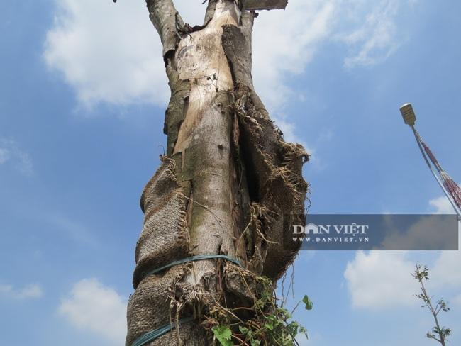"""Hà Nội: Nguy hiểm rình rập từ gần 100 cây xanh """"đột tử trên đường Sa đôi - Ảnh 2."""