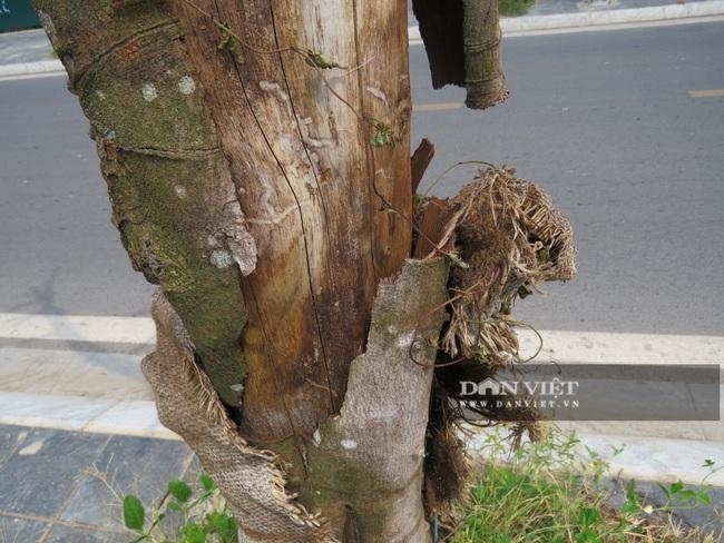 """Hà Nội: Nguy hiểm rình rập từ gần 100 cây xanh """"đột tử trên đường Sa đôi - Ảnh 3."""