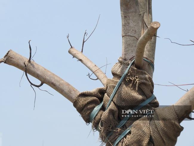 """Hà Nội: Nguy hiểm rình rập từ gần 100 cây xanh """"đột tử trên đường Sa đôi - Ảnh 5."""