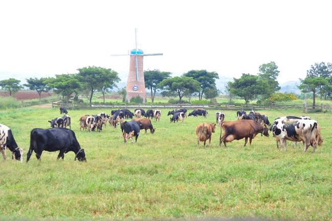 Đánh thức tiềm năng chăn nuôi của Tây Nguyên (bài 1): Đột phá chăn nuôi bò sữa ở Lâm Đồng - Ảnh 3.
