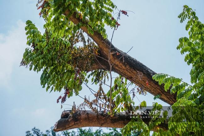 Hàng cây sưa tiền tỷ bọc sắt thoi thóp phải truyền dịch vào thân - Ảnh 9.