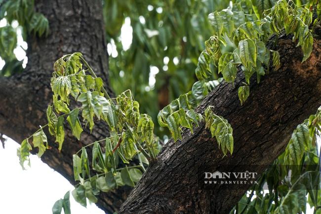 Hàng cây sưa tiền tỷ bọc sắt thoi thóp phải truyền dịch vào thân - Ảnh 10.